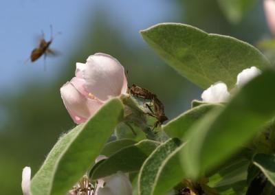 Wanzenfrühling an Quittenblüte