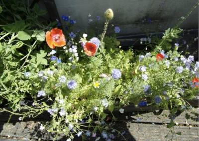 2015 Wildblumenmischung